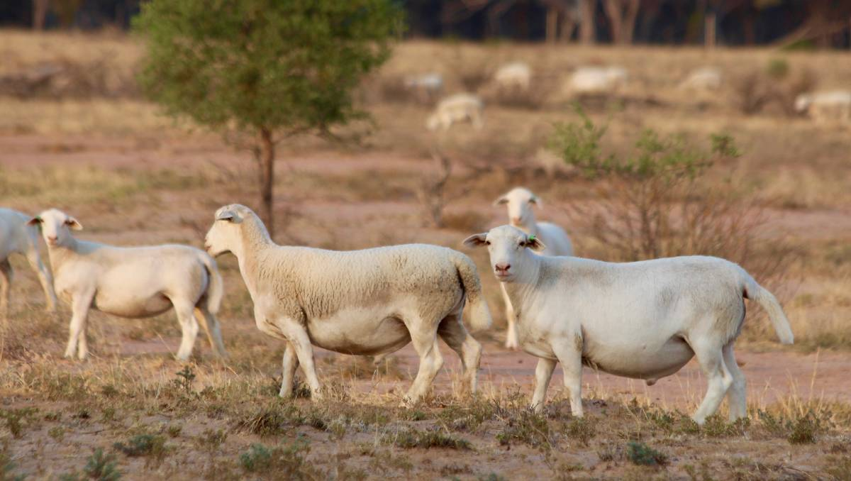 Queensland Cattle Producer Switches To Dorper Sheep And Wins Queensland Country Life Queensland